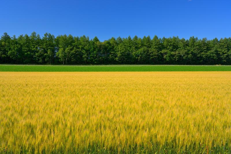 [ 色付く秋撒き小麦 ]  春撒き小麦のような穂を持つ「ゆめちから」は非常に絵になります。
