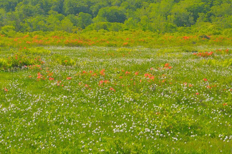 [ ワタスゲの群生 ]  湿原中央部に咲き乱れるワタスゲが綺麗でした。