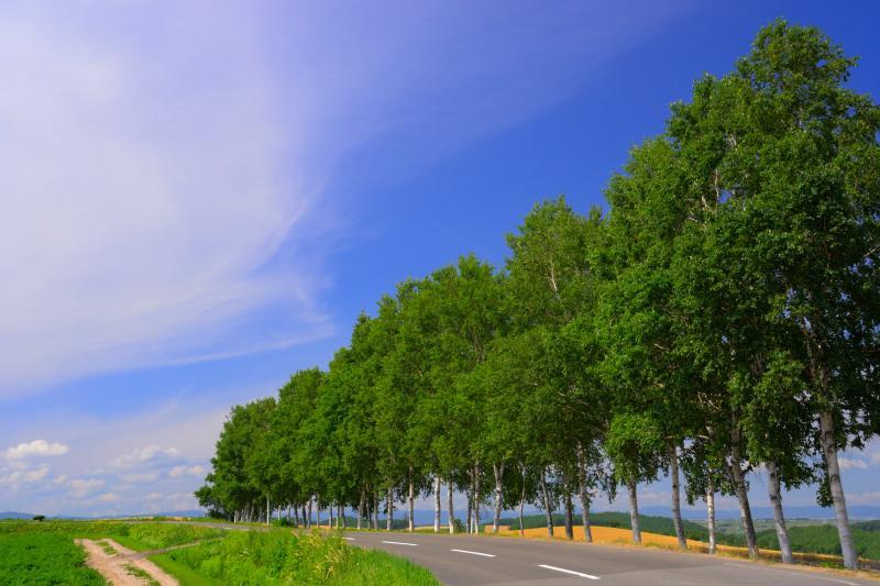 [ シラカンバの並木道 ]  セブンスターの木の近くには美しい並木が立っています。