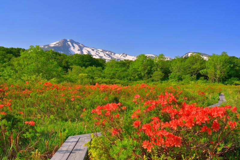 [ 桑ノ木台湿原のレンゲツツジ ]  6月上旬にはレンゲツツジが見頃を迎えます。
