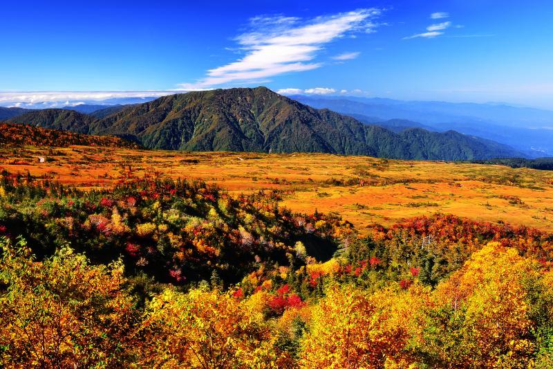[ 弥陀ヶ原全景 ]  錦秋の弥陀ヶ原を俯瞰してみました。ダケカンバの黄葉と草紅葉。秋空のもと黄色の世界が広がっていました。