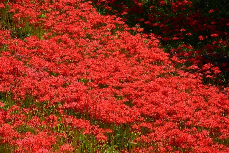 [ 燃えるような赤 ]  彼岸花の鮮やかな赤が逆光に映えていました。