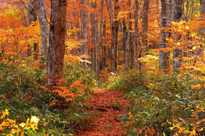[ ブナ林の紅葉 ]  刈込池へと続くブナ林は秋の色に染まっていました。