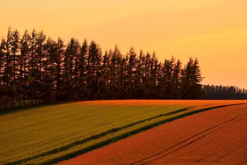 [ 小清水町の丘 ]  夕刻の斜光が麦畑のパッチ模様を際立たせていました。