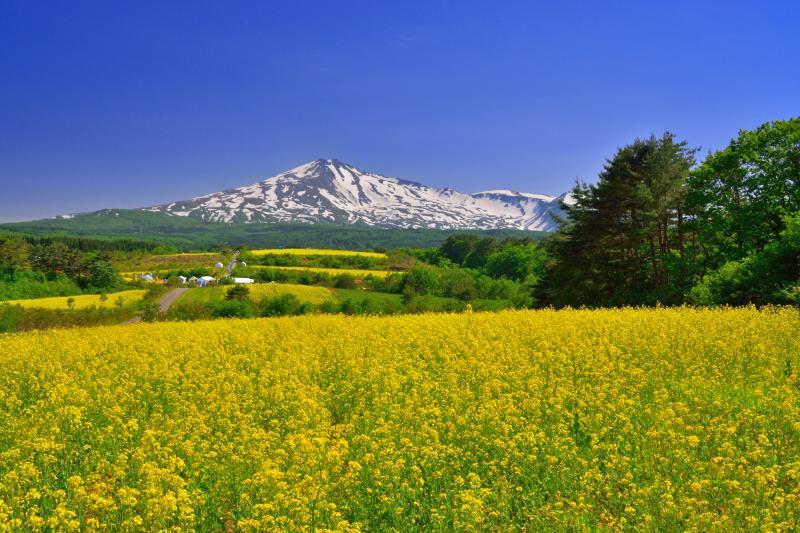 [ 桃野地区の菜の花畑 ]  菜の花祭りの時期には多くの観光客が訪れます。