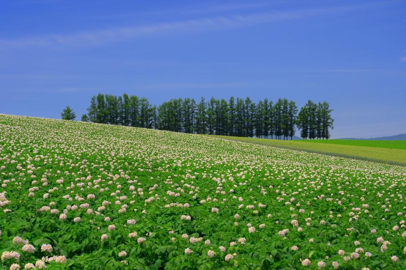 [ ジャガイモの花咲く情景 ]  男爵イモの白くて美しい花がアクセントを与えていました。