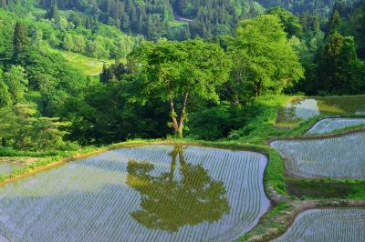 儀明の棚田| 水田に桜の木を映しこむ棚田。新緑の時期も美しい。