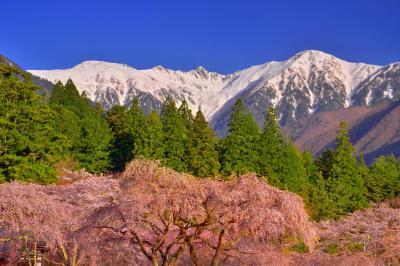 光前寺の桜と宝剣岳| 残雪の宝剣岳が枝垂桜を引き立ててくれます。