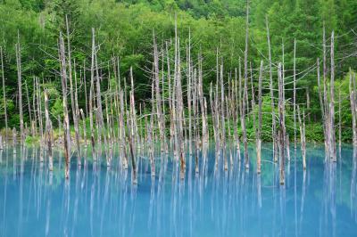 青い池| 白金温泉から3kmほど下ったところにある青い池。コバルトブルーの湖面と水没した枯れ木が印象的。