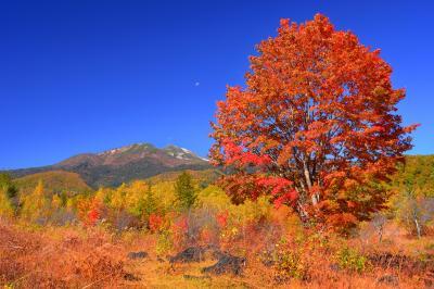 真っ赤な大カエデ| 一の瀬園地の奥にある巨大なカエデの木。乗鞍高原でひときわ目立つ存在です。