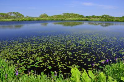 長沼| サロベツ原野の南に位置する長沼。コウホネが群生する美しい沼。遊歩道沿いにはシダやカキツバタも群生しており静かな雰囲気の中で散策を楽しめます。