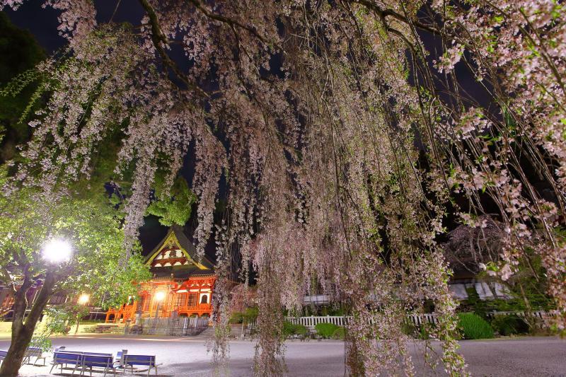 [ 夜桜 ]  夜にはライトアップが行われ荘厳な久遠寺と空を埋め尽くすような枝垂れ桜の共演を楽しむことができます。