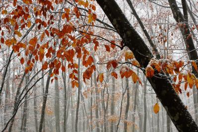 [ 秋の終わりに ]  紅葉のブナの林に雪が舞い落ち、幻想的な世界に。