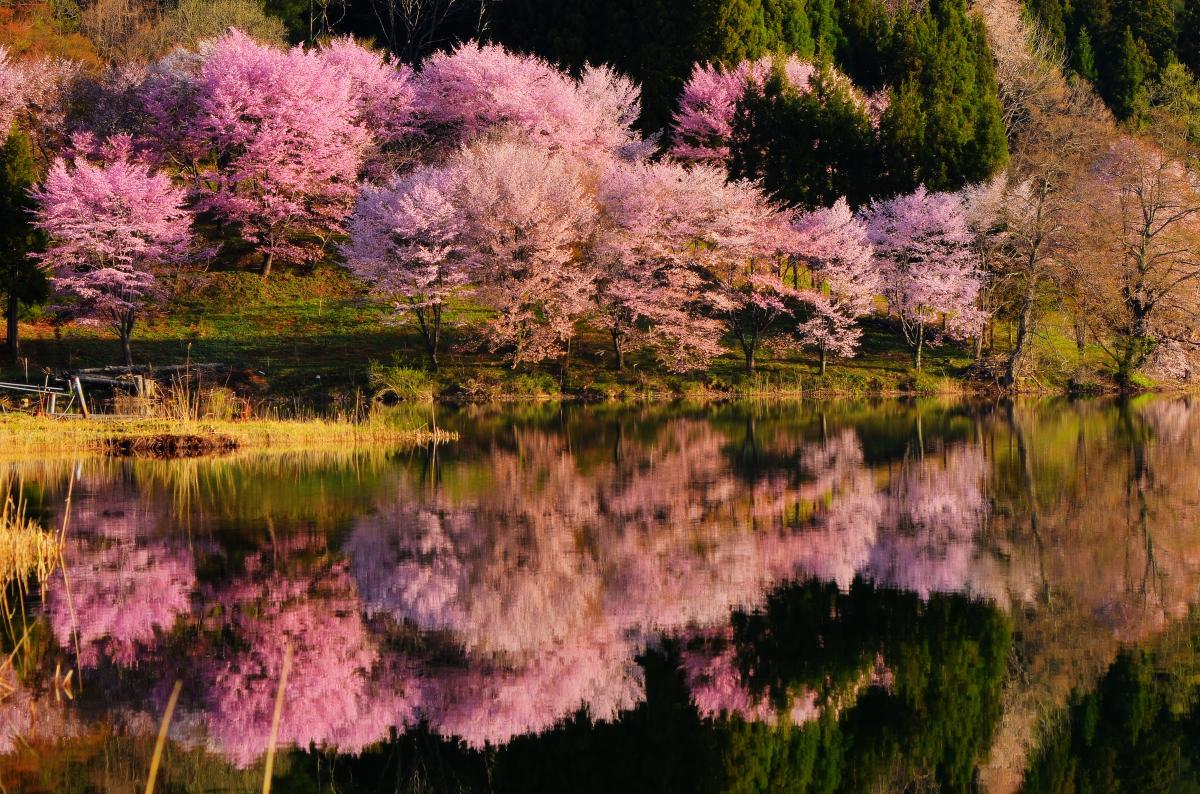 中綱湖 中心部 桜が密集している部分。見る角度によって違った趣があります。風が吹き揺らぐ湖面。