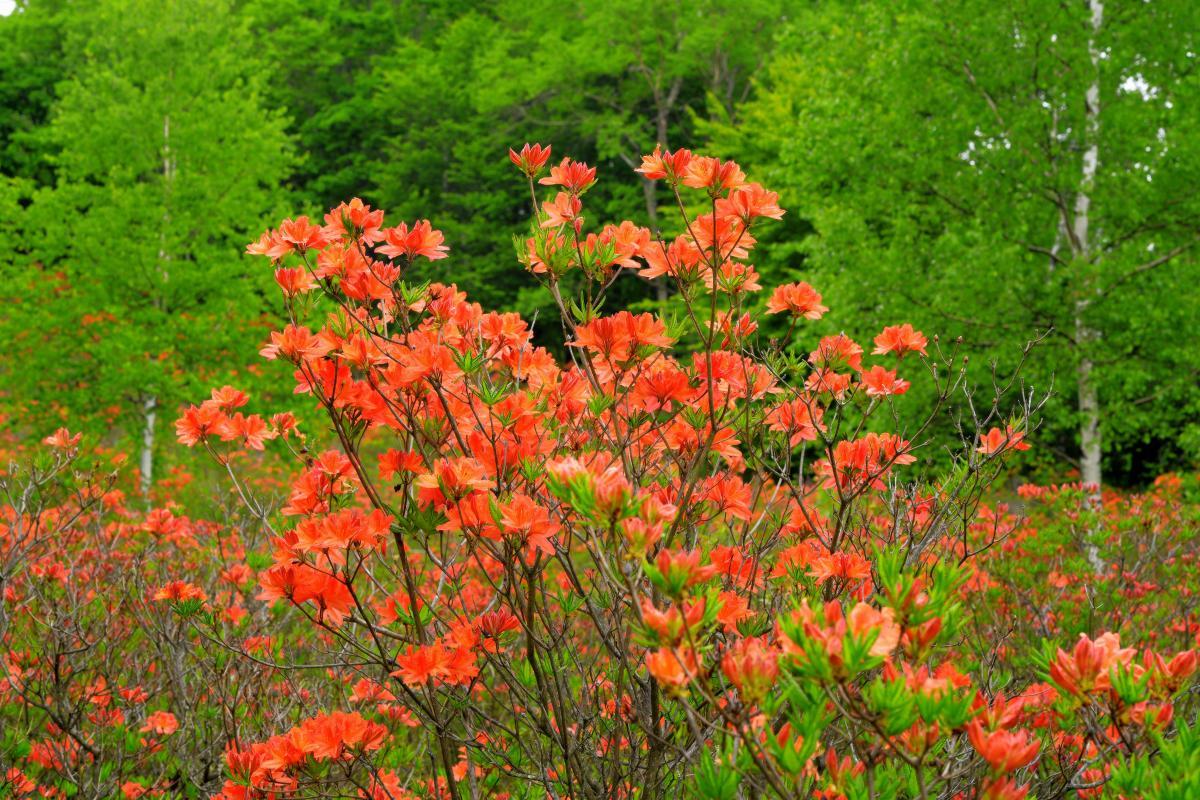 新緑とレンゲツツジ あたり一面に咲き誇るレンゲツツジ。新緑の森とシラカバを楽しめます。