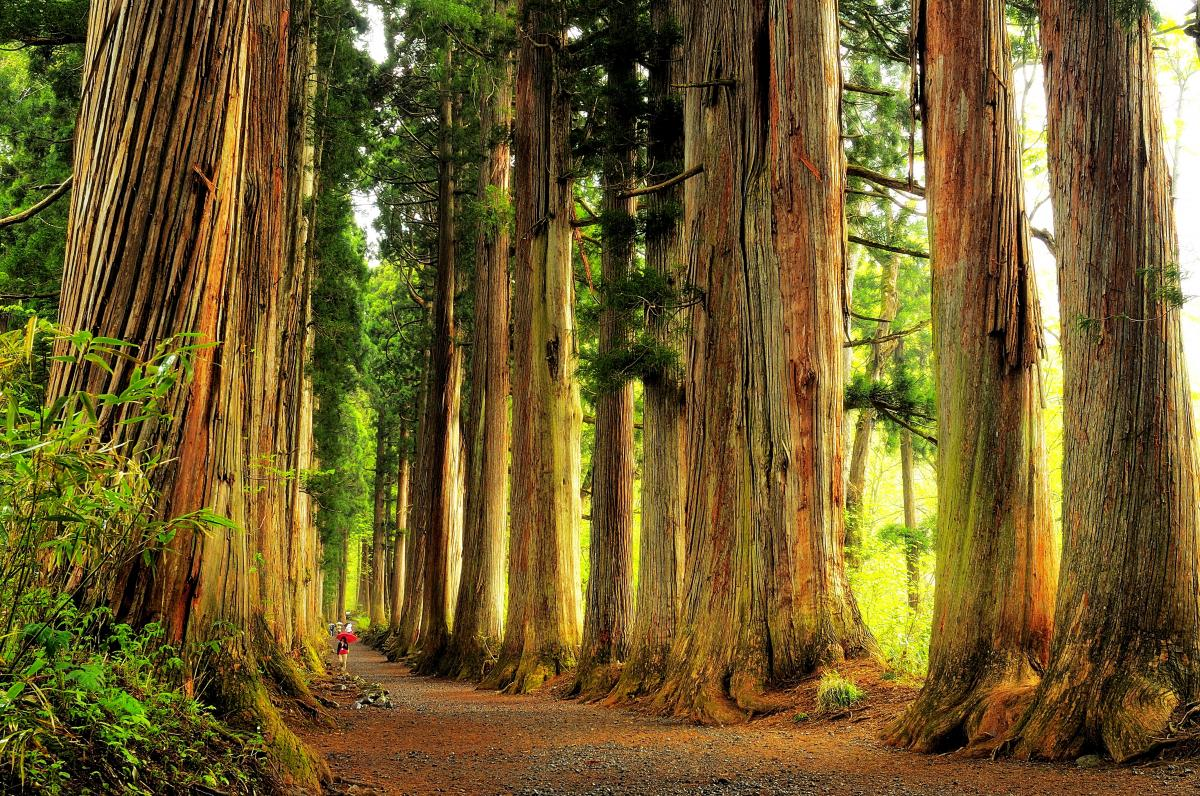 戸隠神社奥社 杉並木 随神門をくぐるとクマスギの巨木が立ち並び 圧倒的な空間が広がります。
