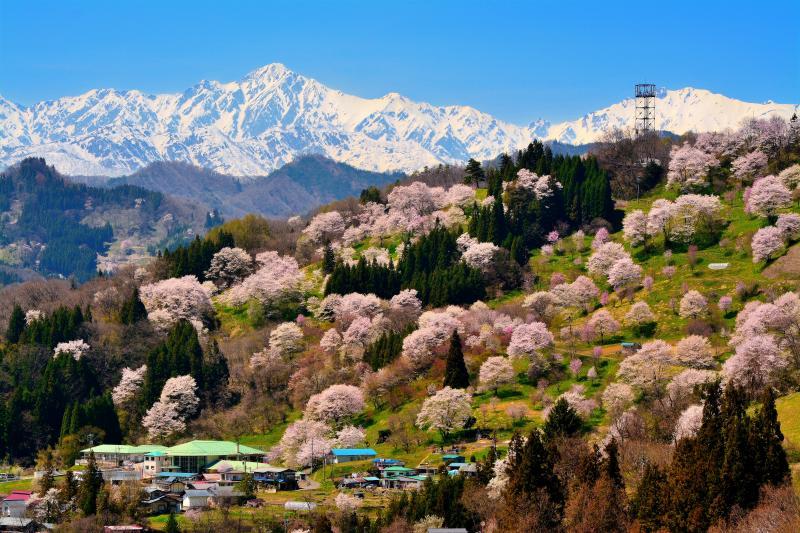 満開桜山|