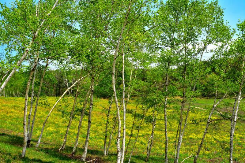 [ 白樺林と菜の花畑 ]  新緑の緑と黄色のコントラスト。