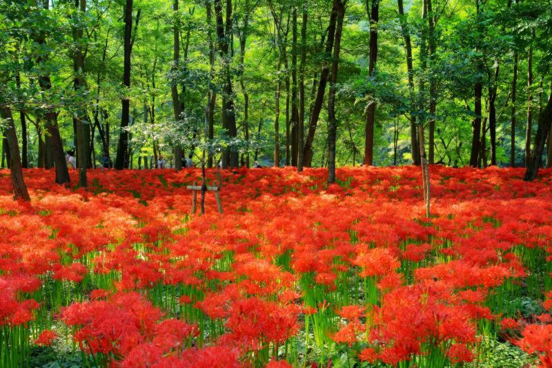 [ 巾着田 ]  林の中に赤い絨毯が広がる不思議な場所。