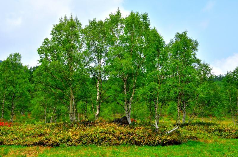 [ 田ノ原湿原 白樺 ]  田ノ原湿原に立つ白樺。新緑に包まれ雰囲気の良い樹々でした。