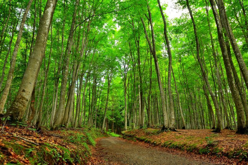 [ 整備された遊歩道 ]  さわやかな空気に包まれたブナの森を散策できます。