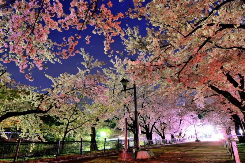 [ 星桜 ]  ライトアップ終了後の桜並木と星空。無風の夜だったので桜が止まっています。