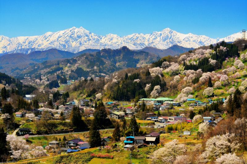 [ 信州 小川村 春 ]  春を迎え咲き誇る桜 小川村中心部。北アルプスへと向かう谷 犀川の支流 土尻川の流れ。快晴で空気が澄んだ日 残雪の北アルプスが一望できました。