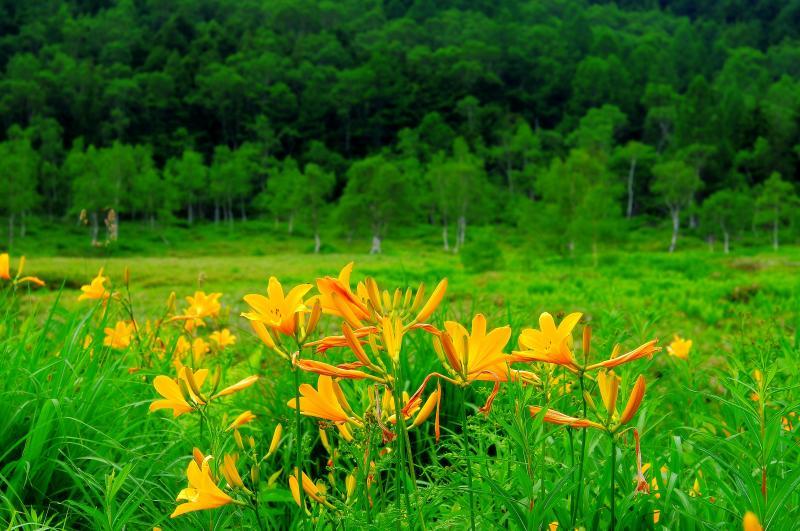 [ ニッコウキスゲ ]  湿原周辺に咲くニッコウキスゲ