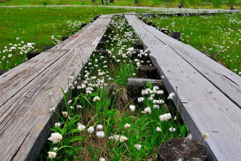 [ 田ノ原湿原の木道とワタスゲ ]  一面にワタスゲが広がっています。