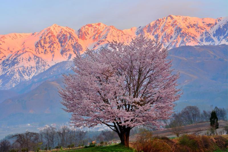 [ 信州春風景 ]  桜色に染まる白馬三山。右から白馬岳、杓子岳、白馬鑓ヶ岳。
