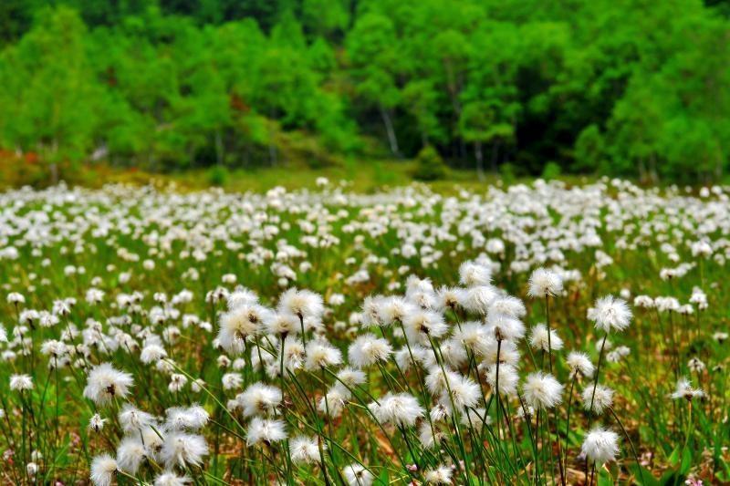 田ノ原湿原のワタスゲ群生| ふさふさとしたワタスゲが風に揺れていました。