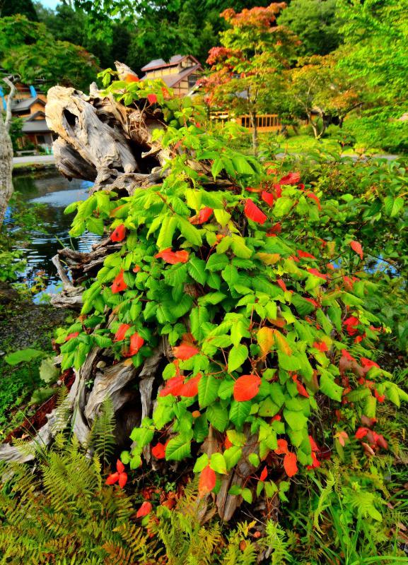 [ 初秋 ]  赤く色付く葉。朽ちた木が植物に覆われていました。
