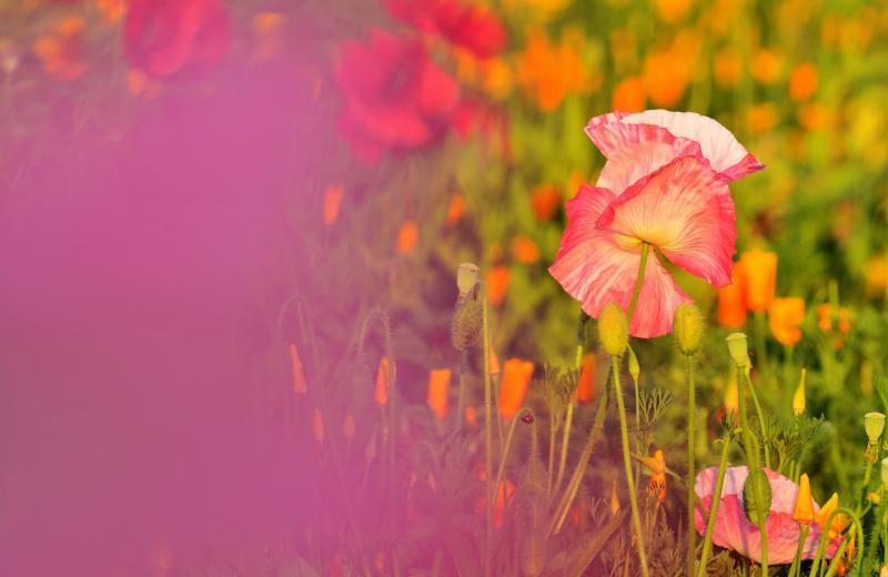 [ 舞 ]  夕日に浮かび上がるポピーを撮影。ピンクのポピーの花びらを前ボケに使いました。