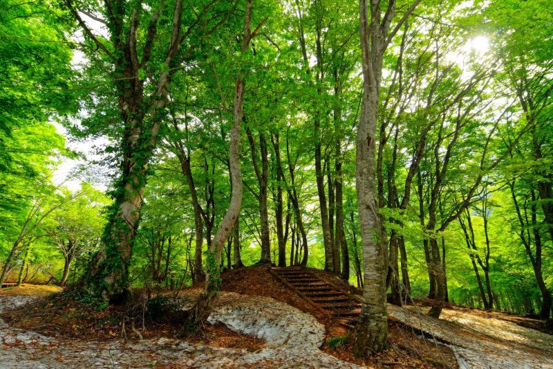 [ 新緑のブナ林 ]  明るい光が差し込み光輝く若葉。雨飾高原はブナの木がたくさんあります。