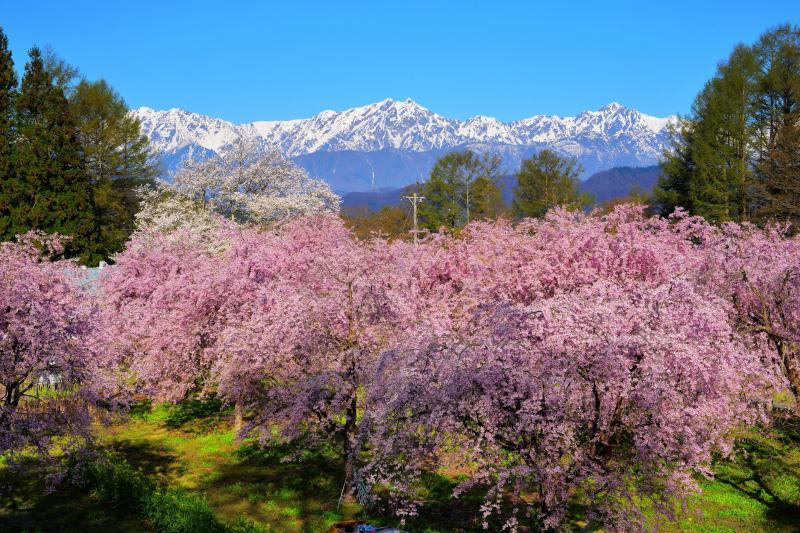 番所の桜山 |