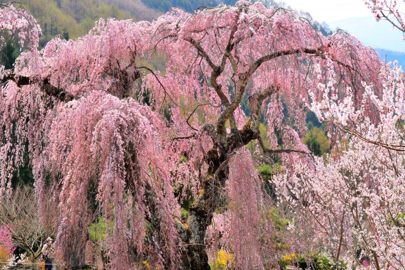 [ 弁天さんのしだれ桜 ]  別名「弁天さんの大桜」地域の皆さんにより大切に保護されています。