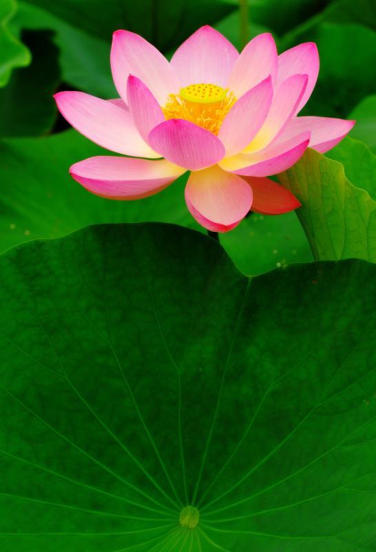 [ 凛と咲く ]  この蓮に目を奪われ、夢中で撮影していました。