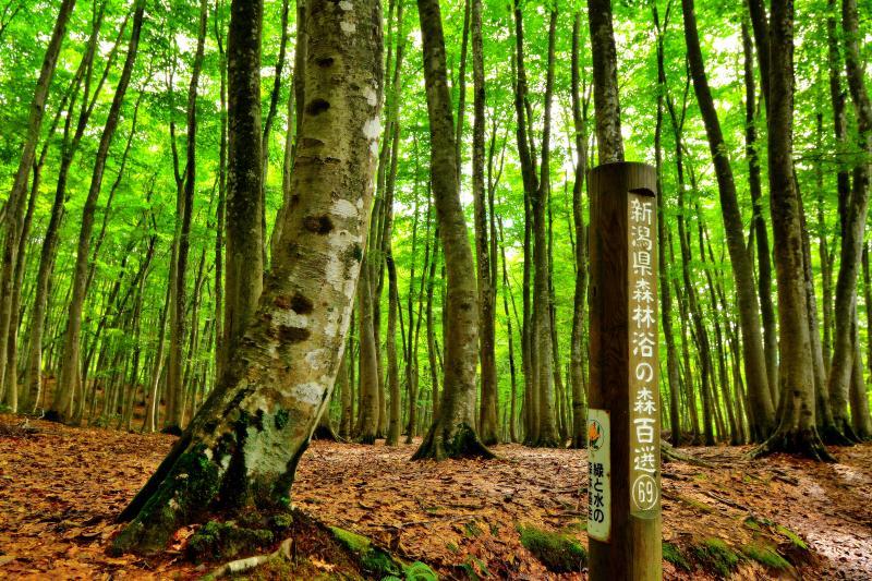 [ しっとり空気感 ]  美人林は新潟県森林浴の森百選に選定されています。