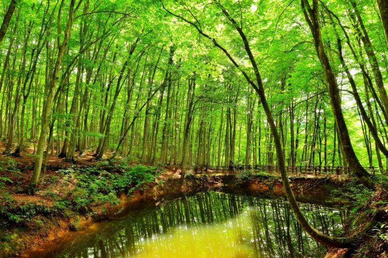 [ 鏡池 ]  美人林にある池。ブナの森を映す水鏡。