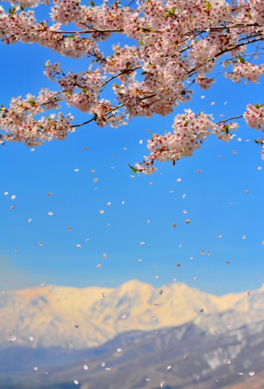 [ 浮遊 ]  ふわふわと舞いおりる桜の花びら。快晴で空気が澄んだ日。残雪の北アルプスが輝いていました。
