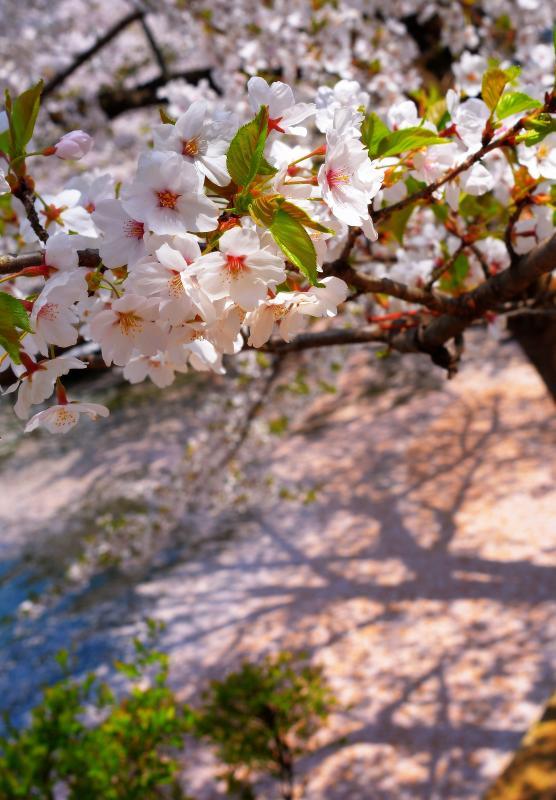 [ 影 ]  竜ヶ池を埋め尽くす花びらが、桜の影を映していました。