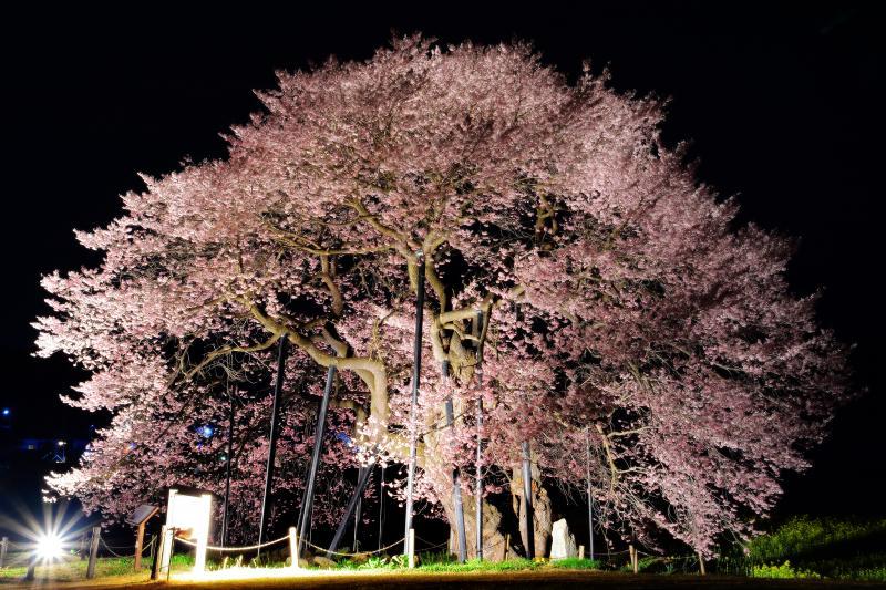 孤高 | 均整のとれた姿の美しい江戸彼岸桜。ライトアップにより陰影が強調され立体的に見えました。