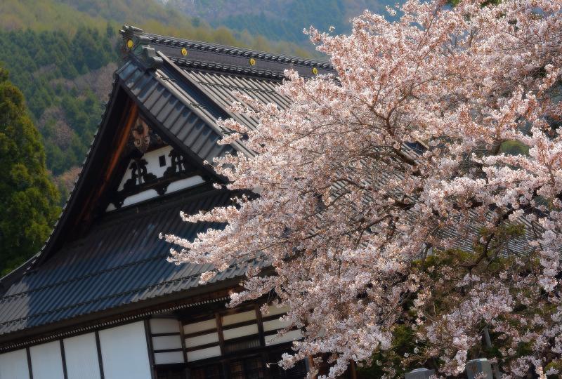 [ 和 ]  立派な屋根と桜