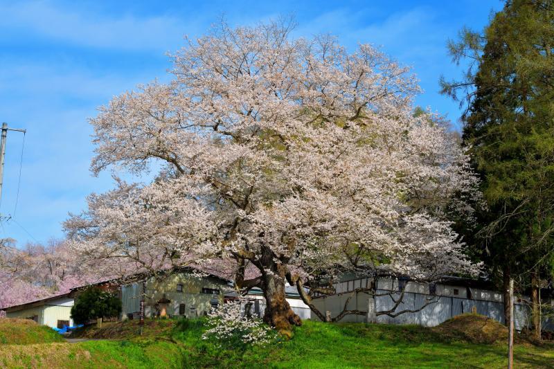 [ 立屋の桜 ]