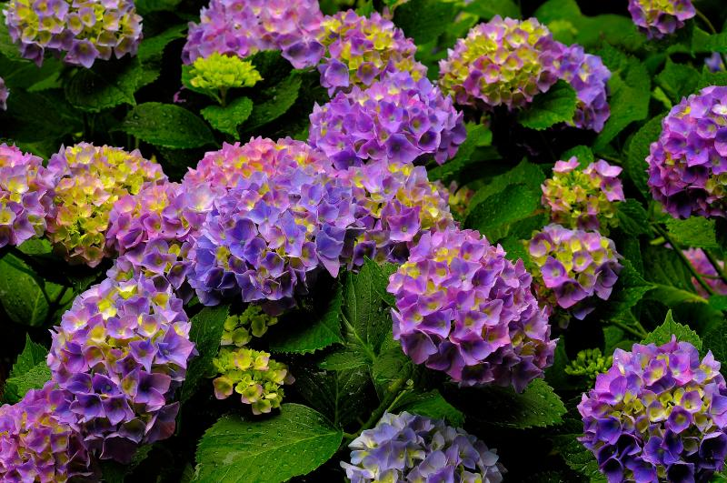 [ 梅雨空に咲く紫陽花 ]  雨に濡れたあじさいが生き生きとしています。違う雰囲気の写真に仕上がりました。