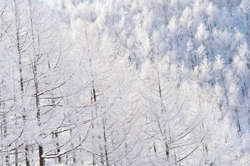 [ カラマツ霧氷 ]  日中の最高気温が氷点下の真冬日。よく晴れた日は太陽光でより白く輝きます。