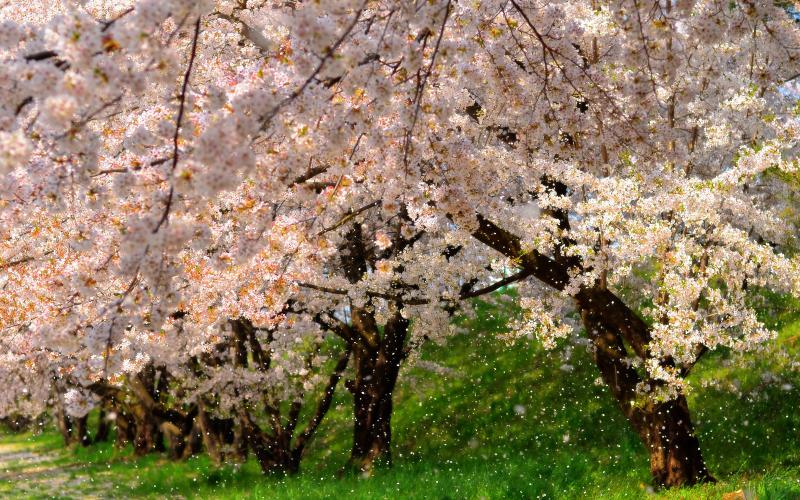 [ 桜吹雪 ]  臥竜公園の南側にある百々川緑地の桜並木。河川敷を吹き抜ける風が桜を揺らし、無数の花びらが舞い散ります。
