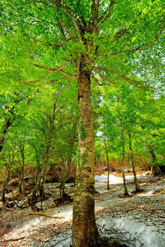 [ 新緑天井 ]  鎌池周辺はブナ林が広がります。ブナの根開けと根曲ブナ。雪が解けるとブナの根元には行けなくなってしまいます。