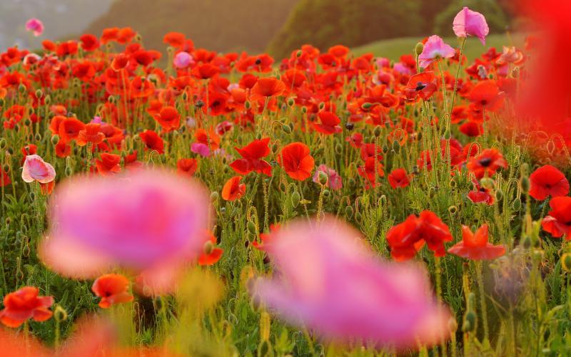 [ 夕映え ]  ポピーは逆光で撮影すると花びらが透けて美しいです。
