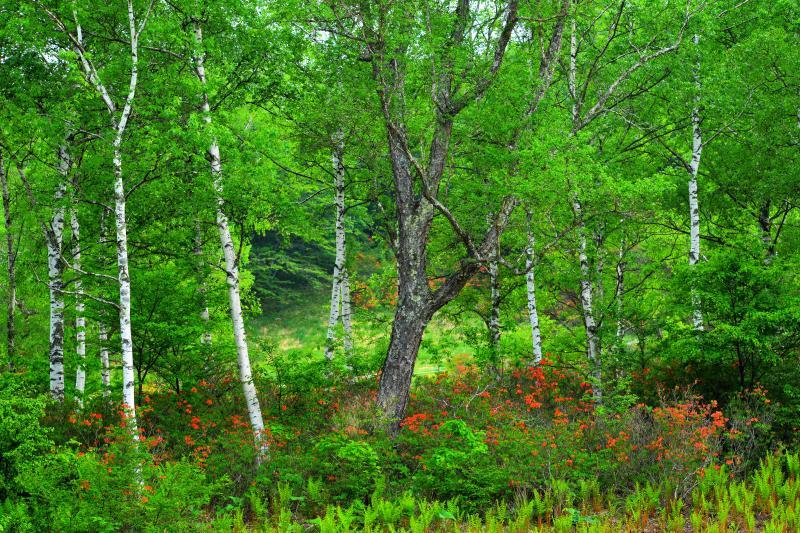 [ 白樺林とレンゲツツジ ]  群生するレンゲツツジ。新緑の白樺に包まれていました。